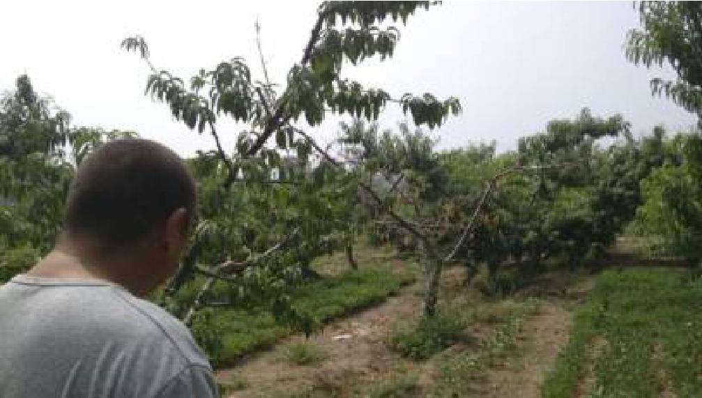 防治桃树根朽病的新方法――生物菌有机肥